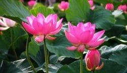 hoa-sen-mang-y-nghia